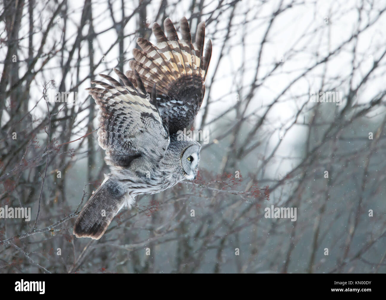 Great grey owl swooping with the trees at the background during winter in Finland - Stock Image