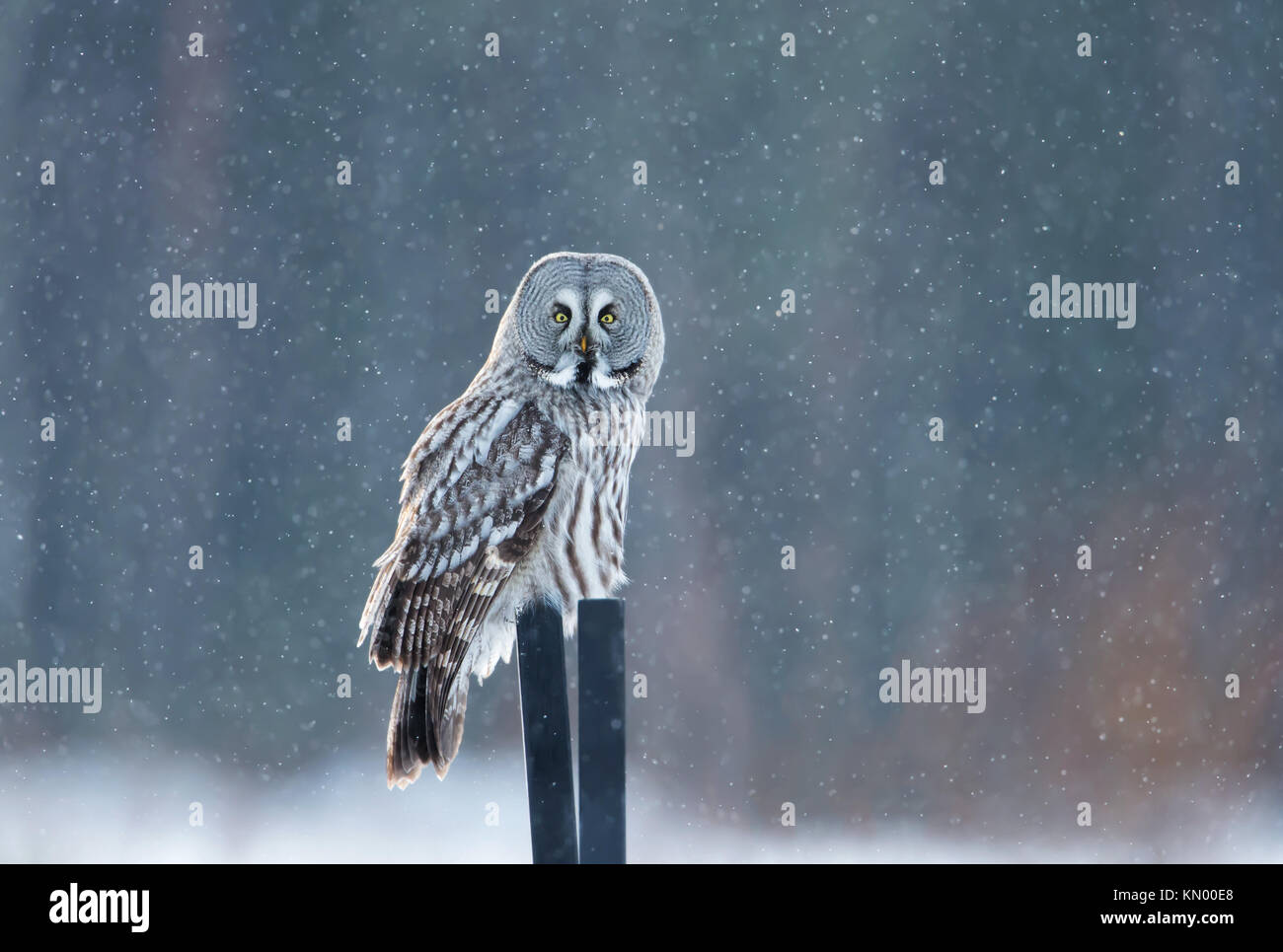 Great grey owl sitting on the post in the falling snow, winter in Finland - Stock Image