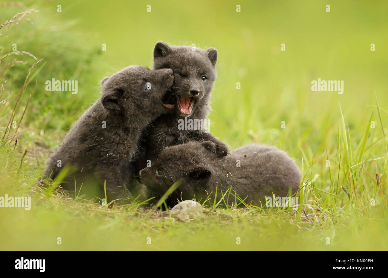 Three cute brown (blue morph) arctic fox cubs play fighting with each other in the meadow during summer in Iceland - Stock Image