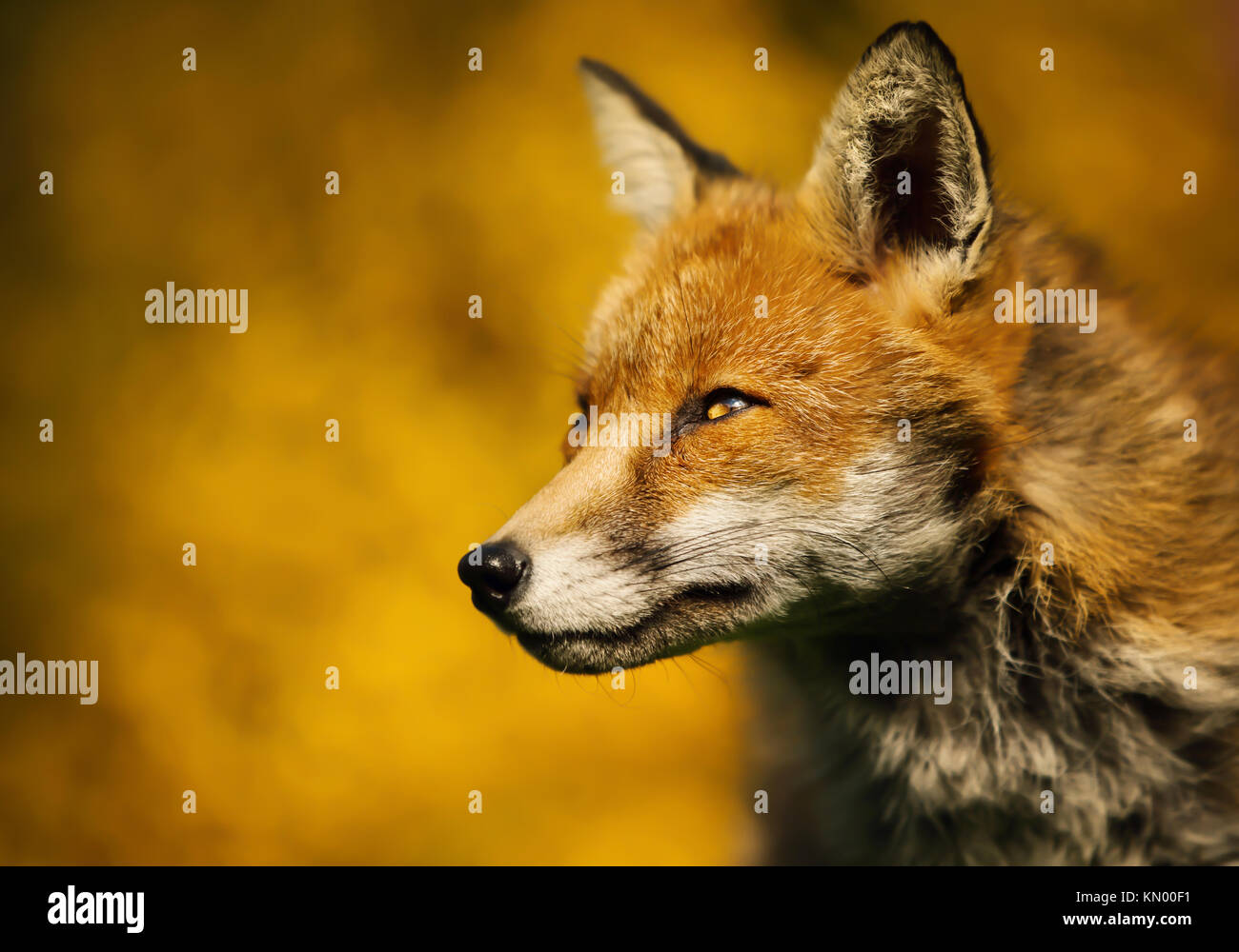 Isolated close up of an adult red fox portrait against colorful background, UK - Stock Image