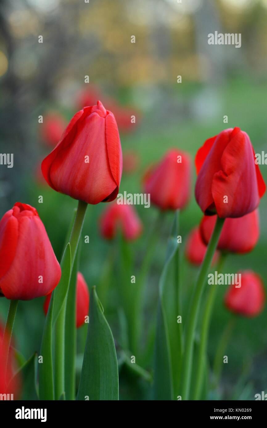 Red tulips (lat.: Tulipa gesneriana), the Didier's tulip or garden tulip in a garden Stock Photo