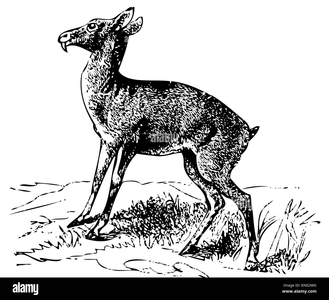 Old engraved illustration of a Siberian musk deer or moschus moschiferus, isolated on white  Live traced  From the - Stock Image