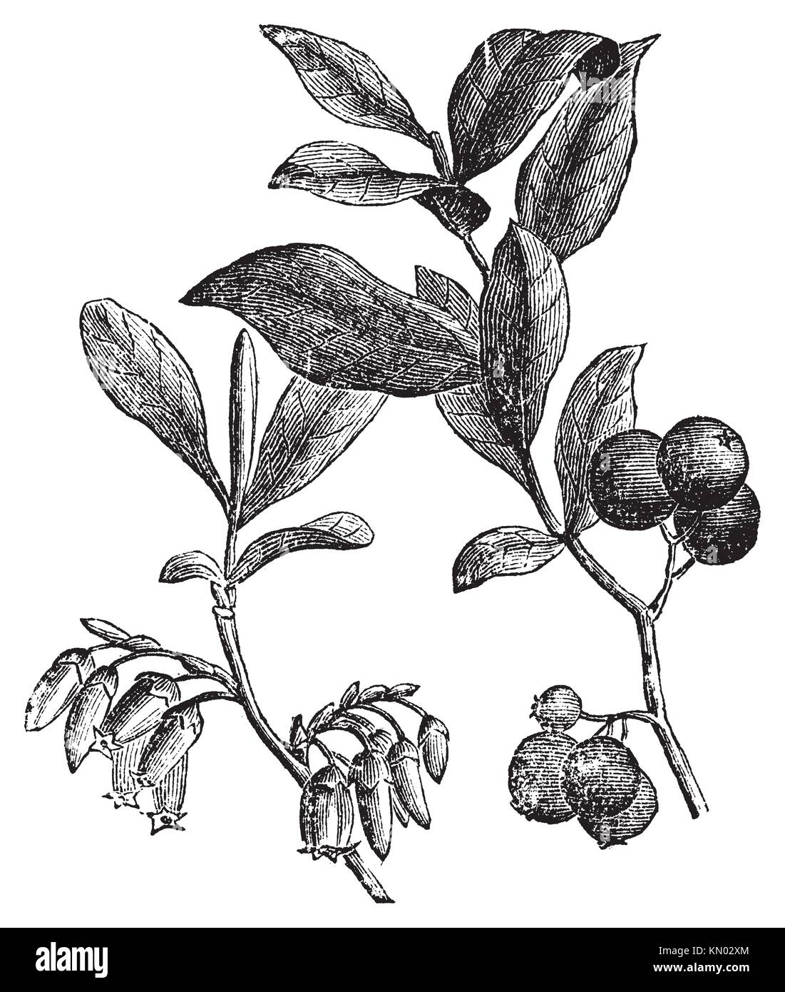 Huckleberry or Gaylussacia resinosa engravin  Old vintage engraved illustration of huckleberry plant  The huckleberry - Stock Image