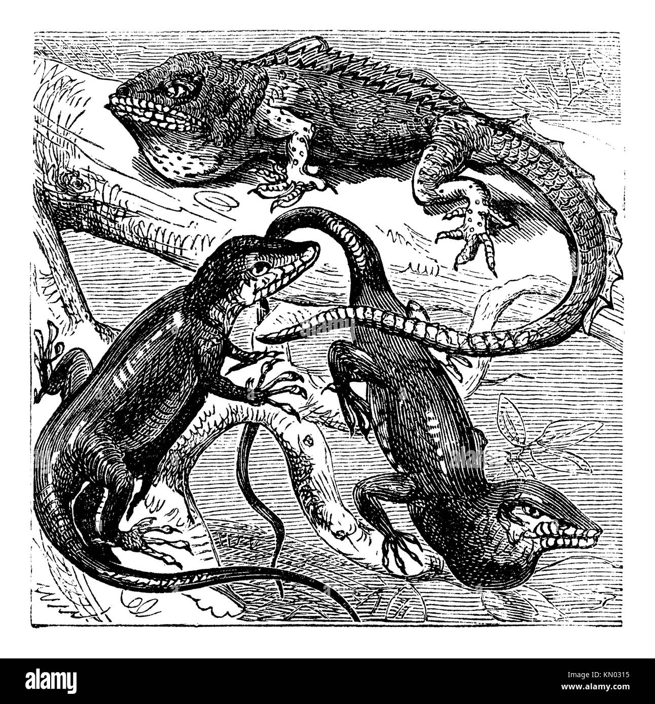 Green, red-throated and crested Anolis lizards vintage engraving  Old engraved illustration of the three species - Stock Image