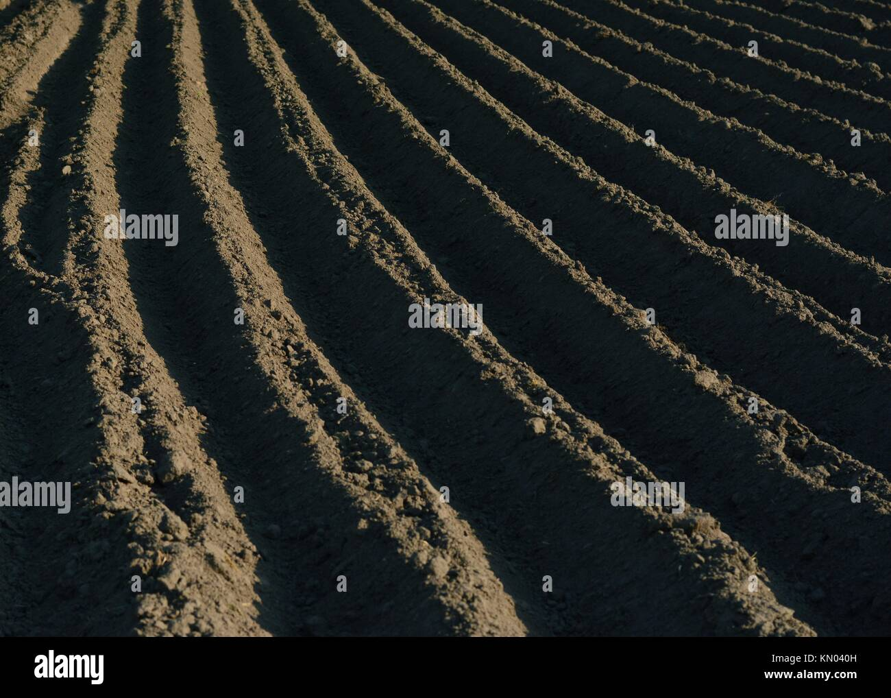 A piece of tilled black-soil field ready for potato planting in Ukraine, Chernihiv region Stock Photo
