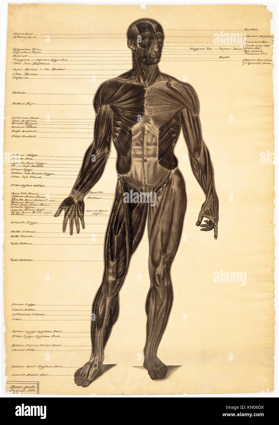 Anatomical Diagram Muscles Stock Photos Anatomical Diagram Muscles