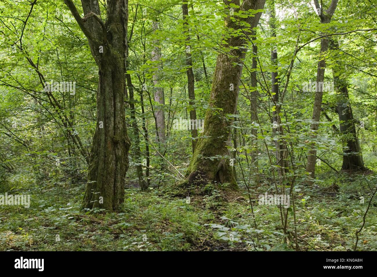 Two old Hornbeams carpinus betulus inside forest against young fresh green trees, Poland, Podlasie Province - Stock Image