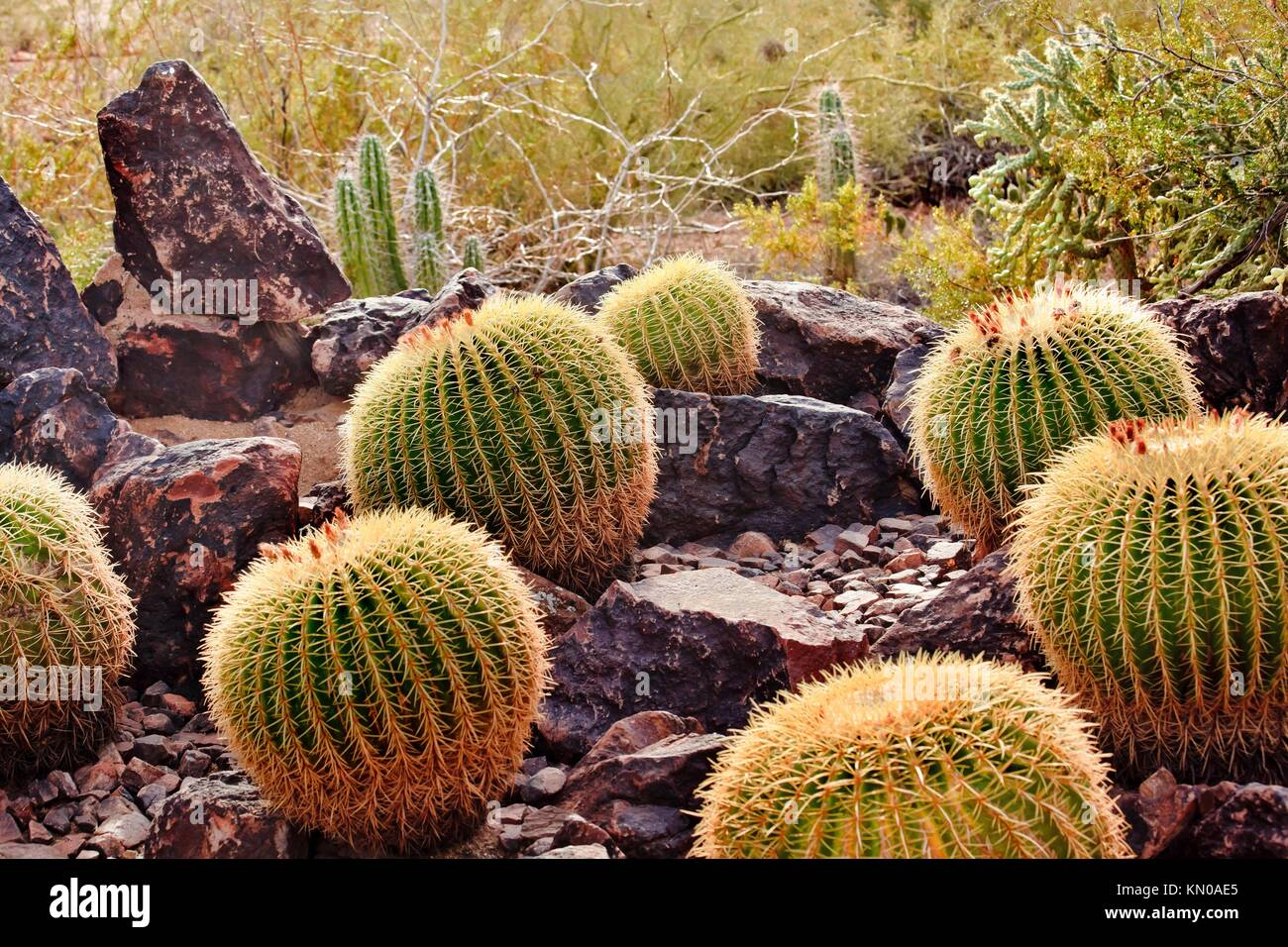 Golden Barrel Cactuses, Echinocactus, Desert Botanical Garden Papago ...