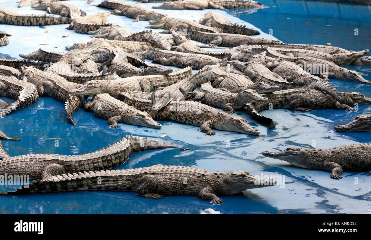 Crocodile Farm, at Hartley's Crocodile Adventures, Captain Cook Highway, Wangetti, Queensland, Australia - Stock Image