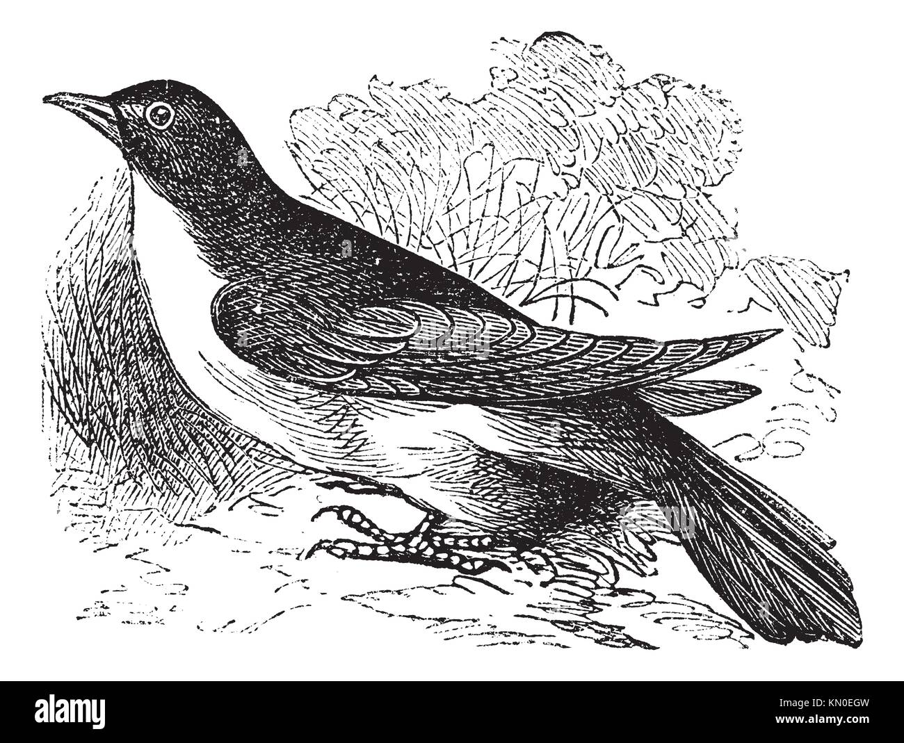 Yellow-billed Cuckoo or Rain Crow or Storm Crow or Coccyzus americanus, vintage engraving  Old engraved illustration - Stock Image