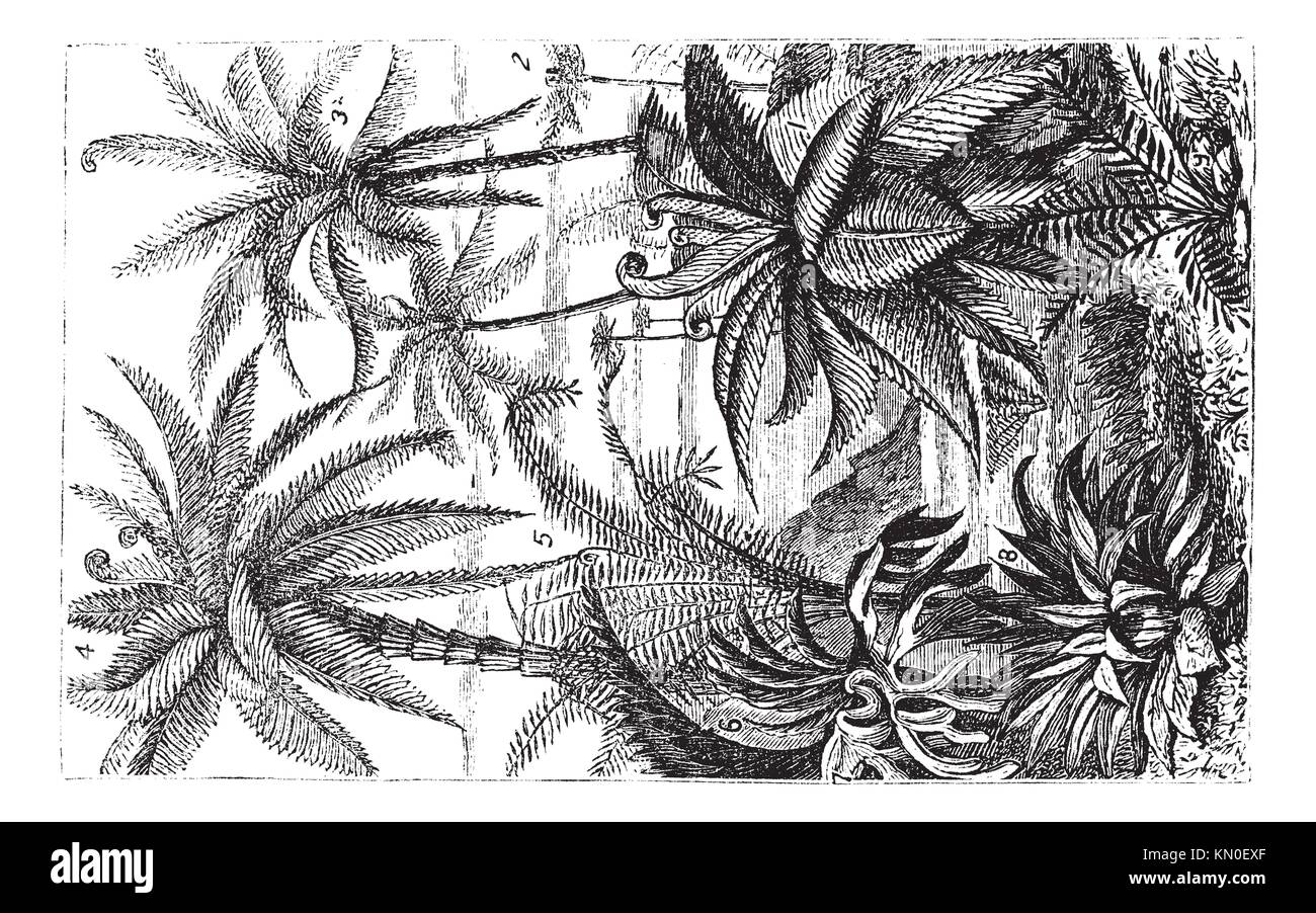 Arborescent Ferns during the Carboniferous Period, vintage engraved illustration  Trousset encyclopedia 1886 - 1891 Stock Photo
