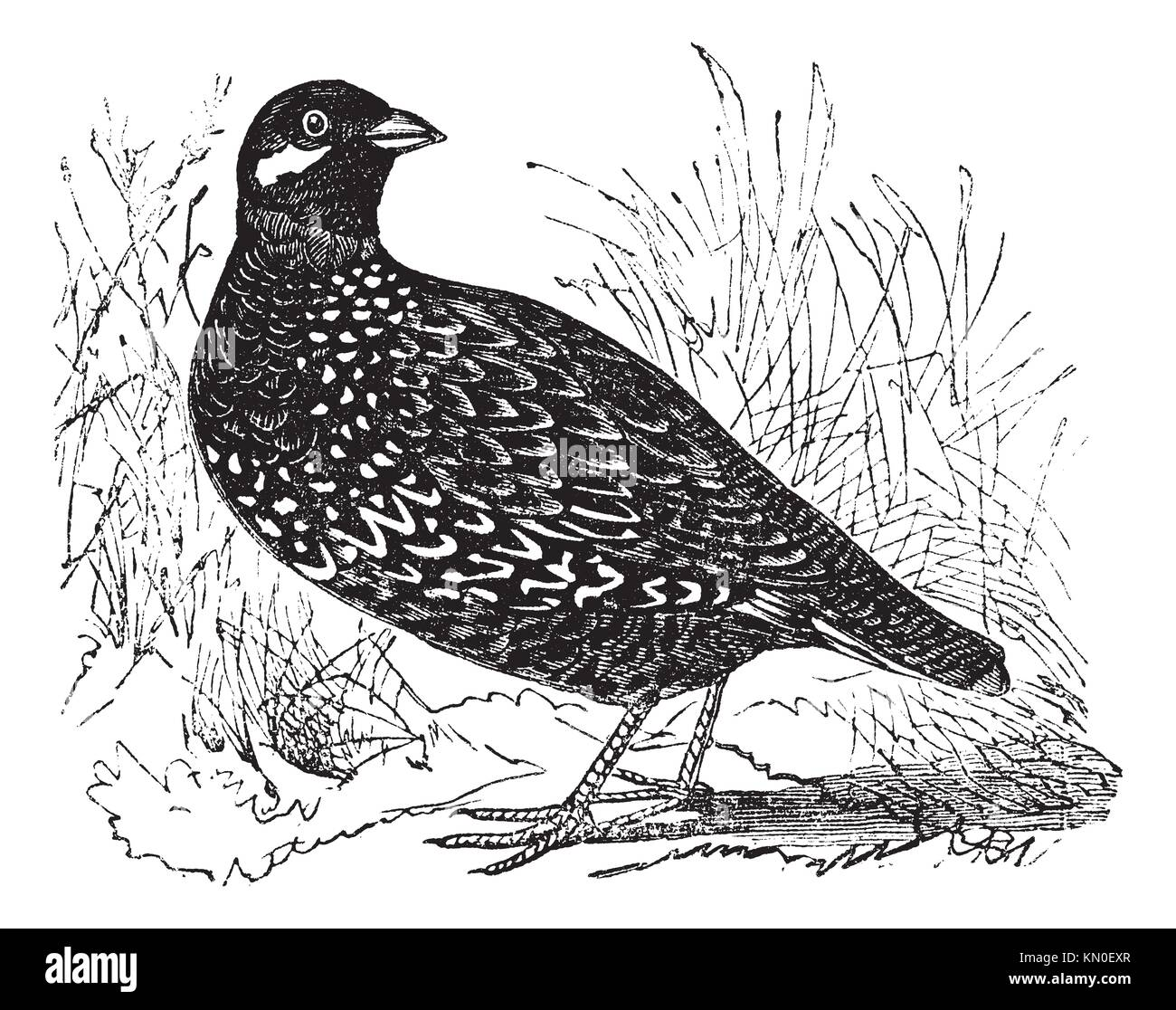 Black Francolin also known as Francolinus francolinus, gamebird, vintage engraved illustration of Black Francolin - Stock Image