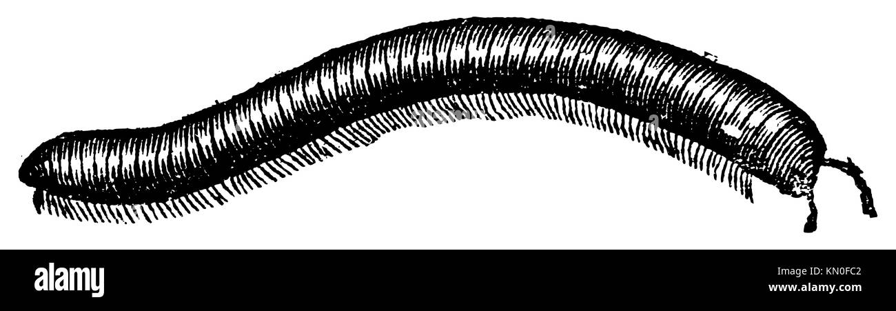 Millipede Black And White Stock Photos Images Alamy