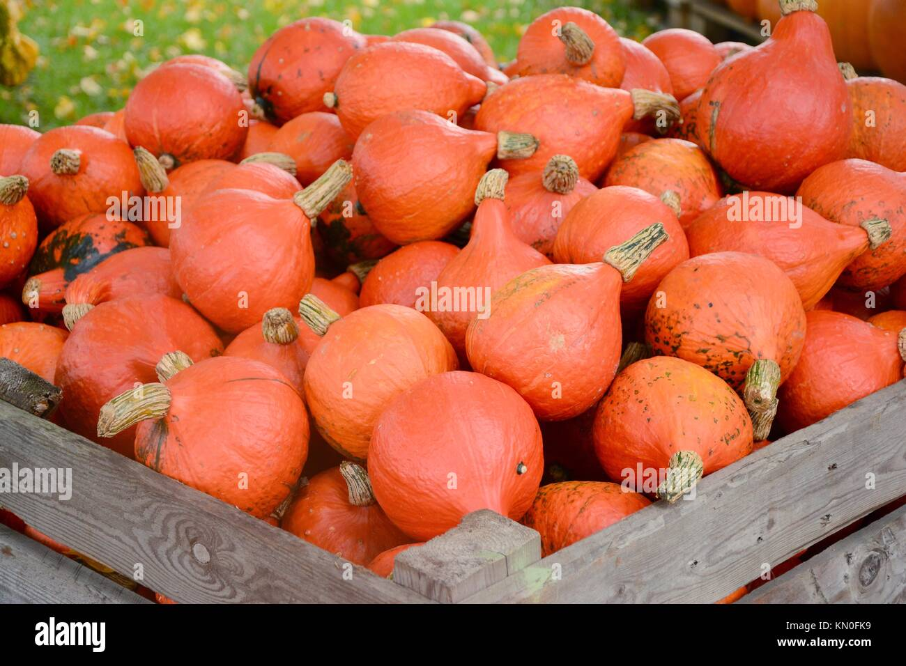 Red kuri squash in a large wooden crate Stock Photo