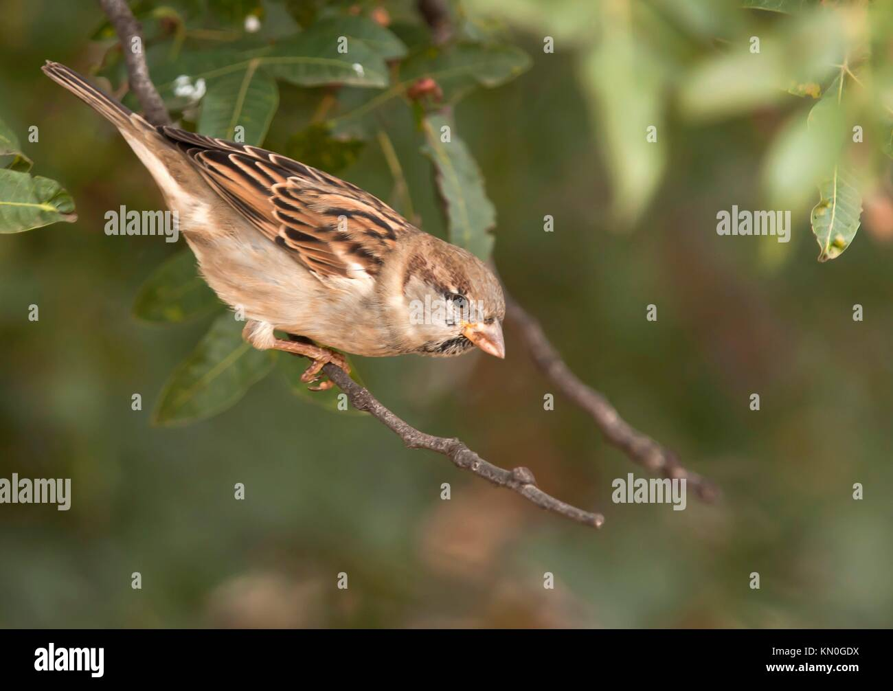 House sparrow passer domesticus sitting on a twig Athens Greece Stock Photo