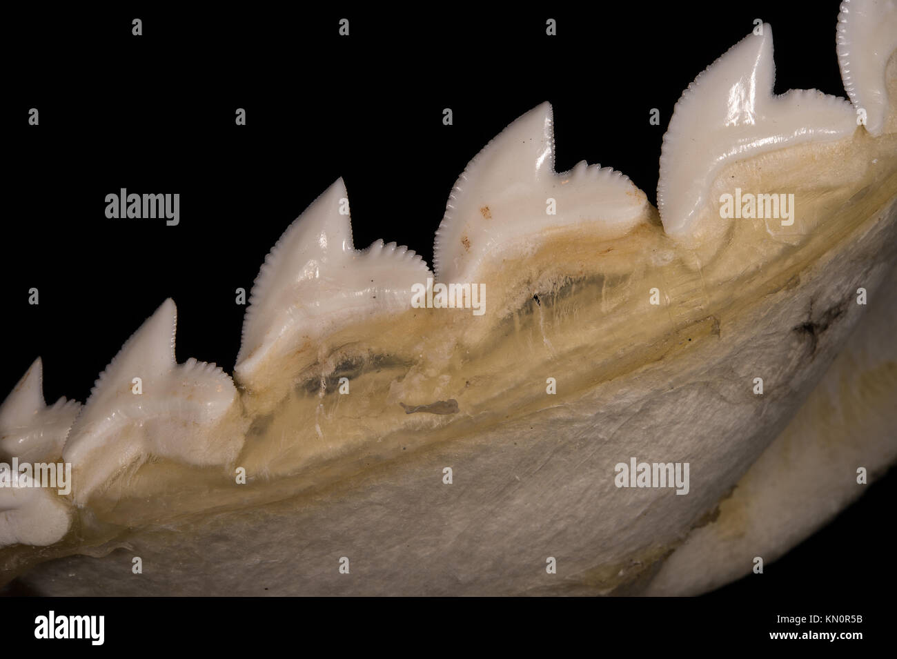 Tiger shark teeth, Galeocerdo cuvier, Carcharhinidae Stock Photo