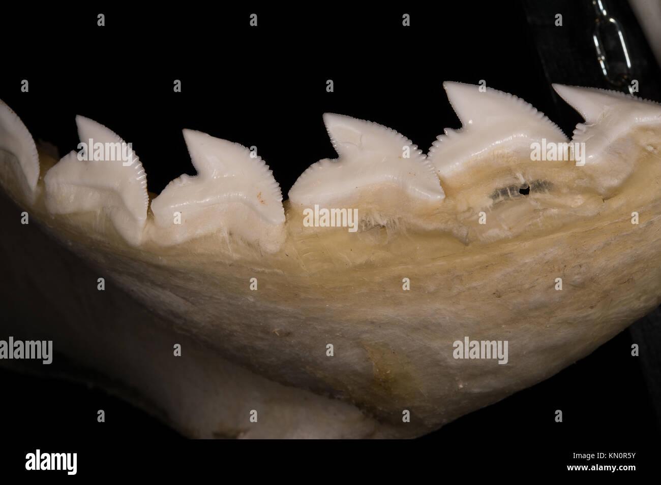 Tiger shark teeth, Galeocerdo cuvier, Carcharhinidae - Stock Image