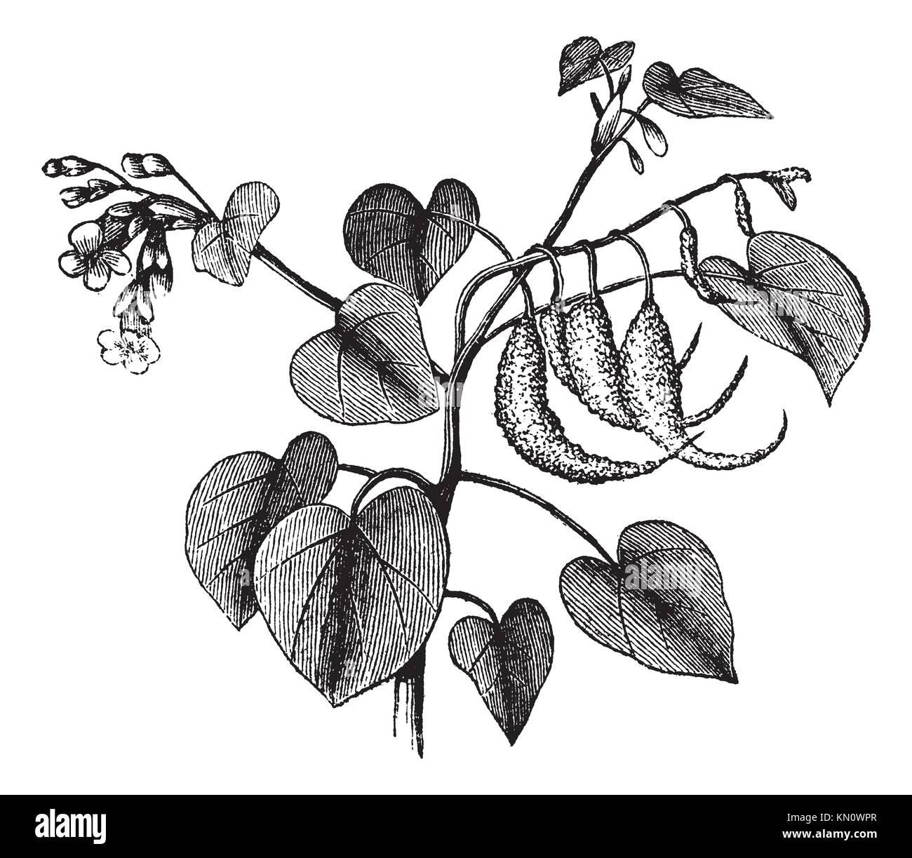 Ram´s horn or Proboscidea louisianica or Martynia proboscidea or Devil´s claw or Devil´s horn or - Stock Image