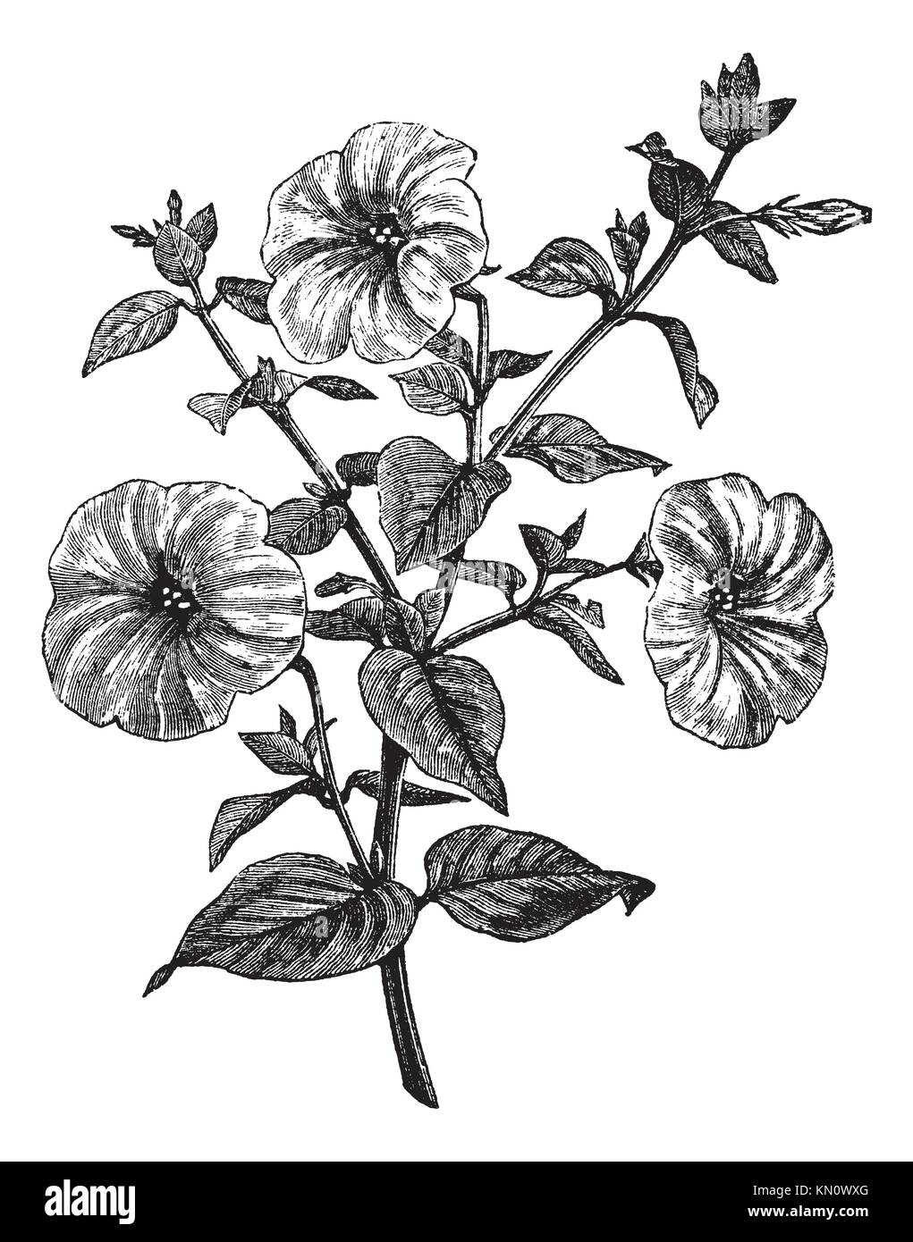 Solanaceae Illustration Stock Photos How Do You Draw Floral Diagram Of Family Petunia Or Sp Vintage Engraved Trousset Encyclopedia 1886 1891 Image