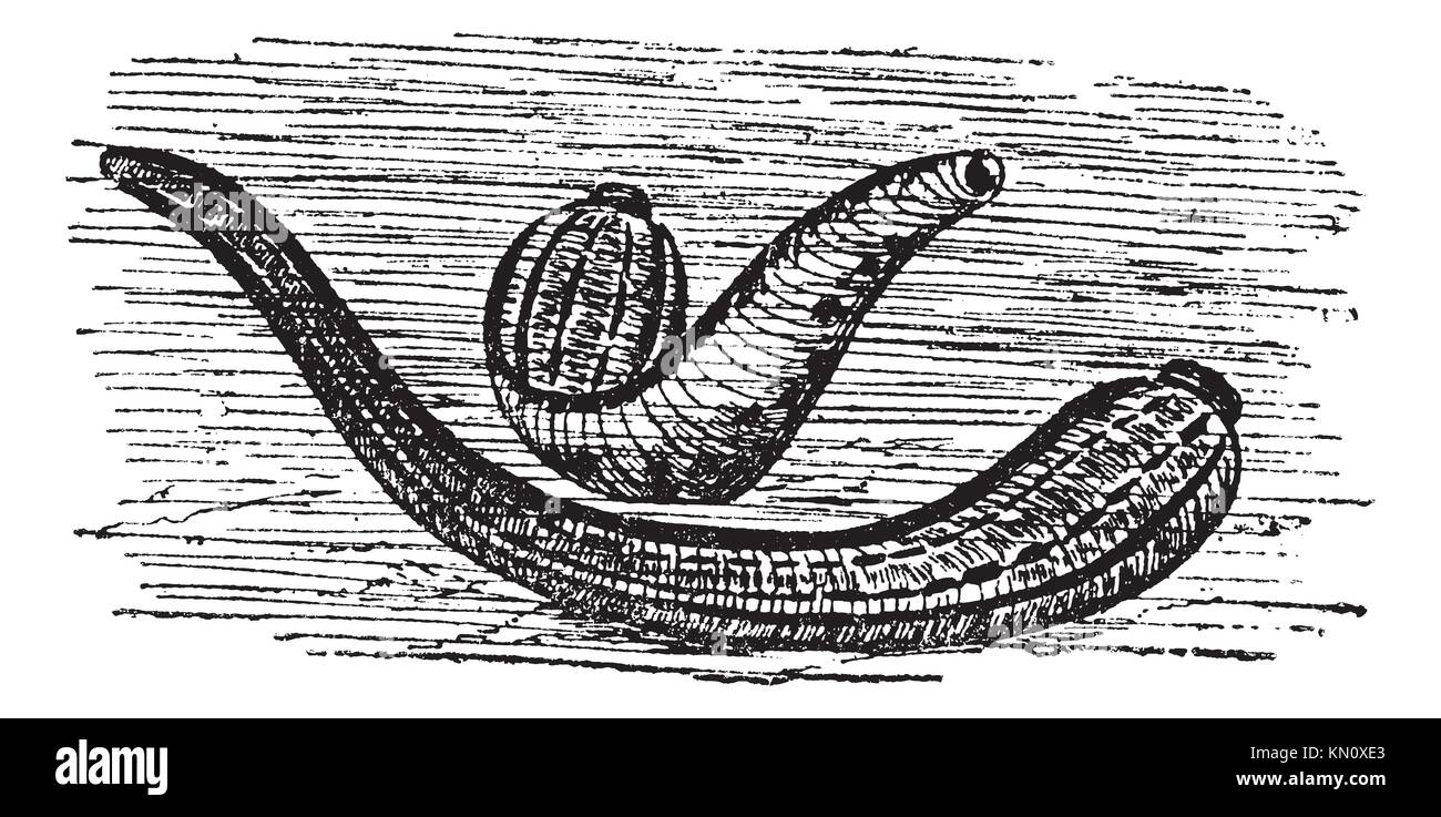 """leeches in medicine The colonie (albany county) historical society will host a program entitled """" leeches & laudanum: medicine in 18th century new york,""""."""