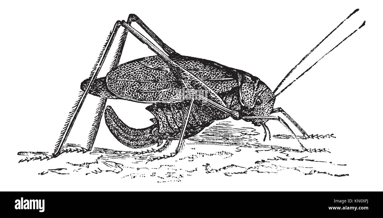 Oblong-Winged katydid or Amblycorypha oblongifolia or Long-horned grasshopper, vintage engraving  Old engraved illustration - Stock Image