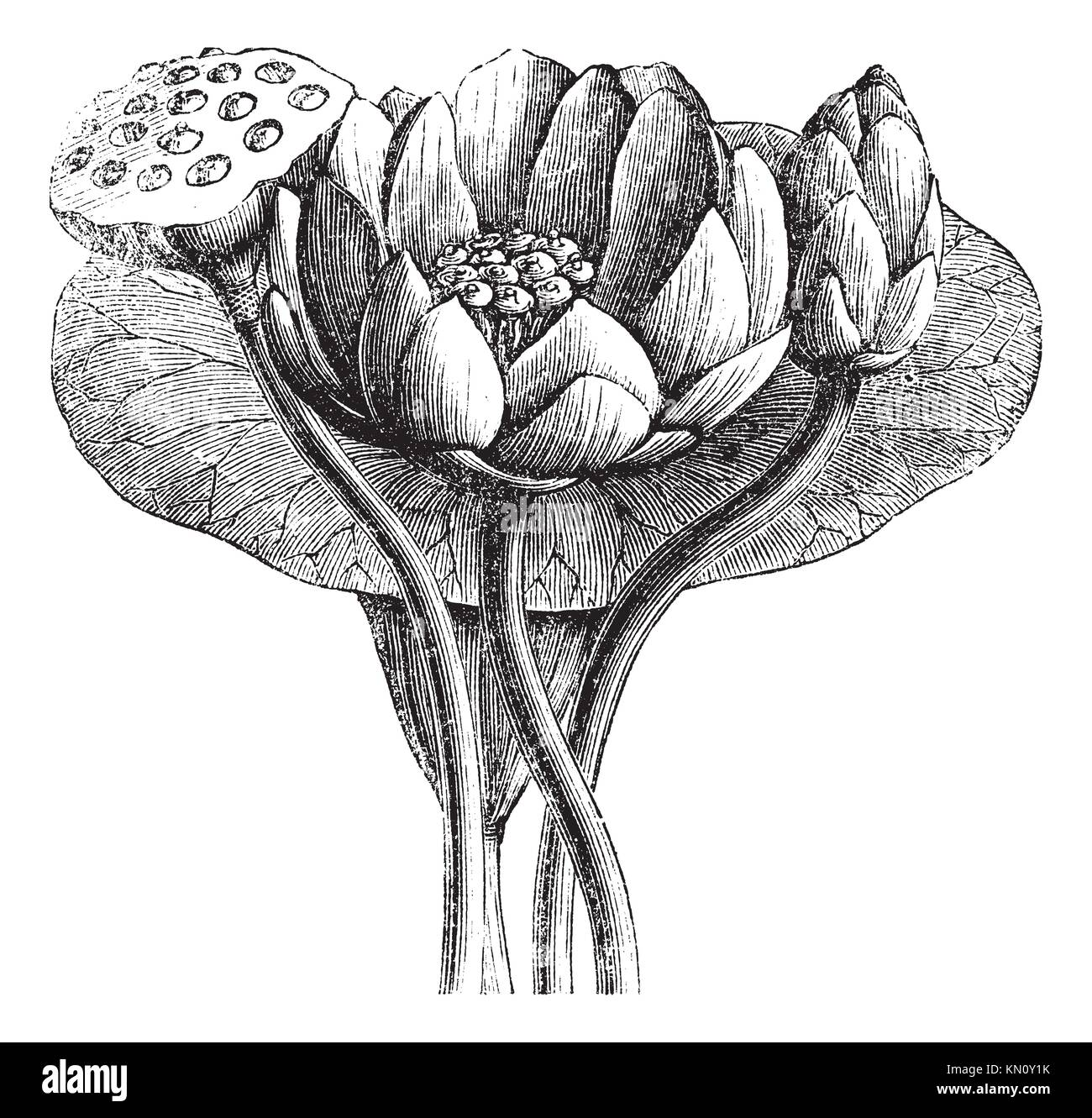 Edible Flower With Lotus Root Stock Photos Edible Flower With