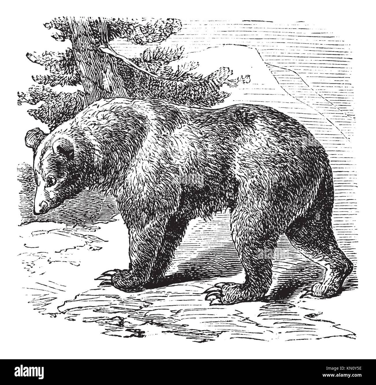 Cinnamon Bear Ursus occidentalis, vintage engraved illustration Trousset encyclopedia 1886 - 1891 Stock Photo