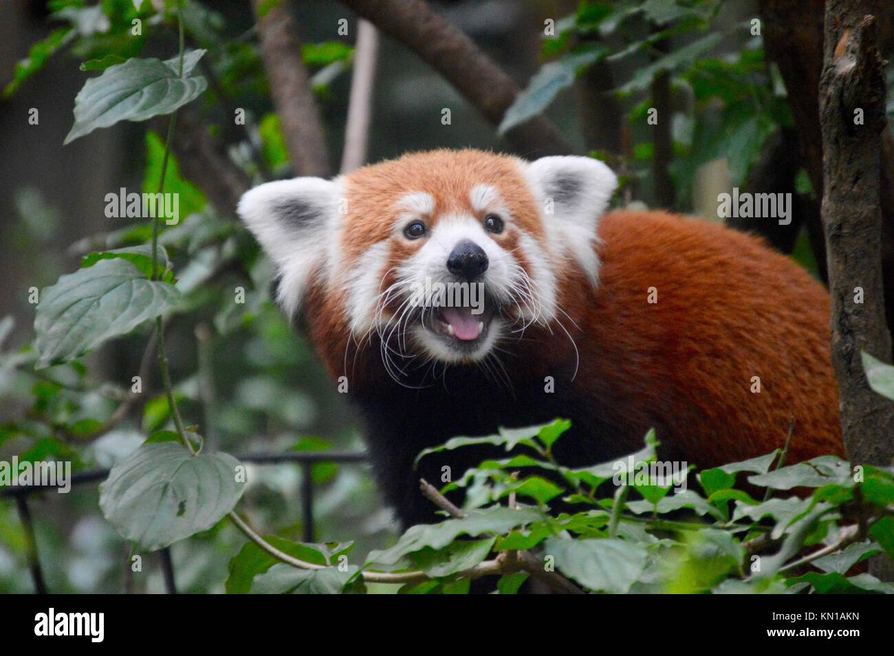 Cheeky Red Panda taken at Central Park Zoo - Stock Image