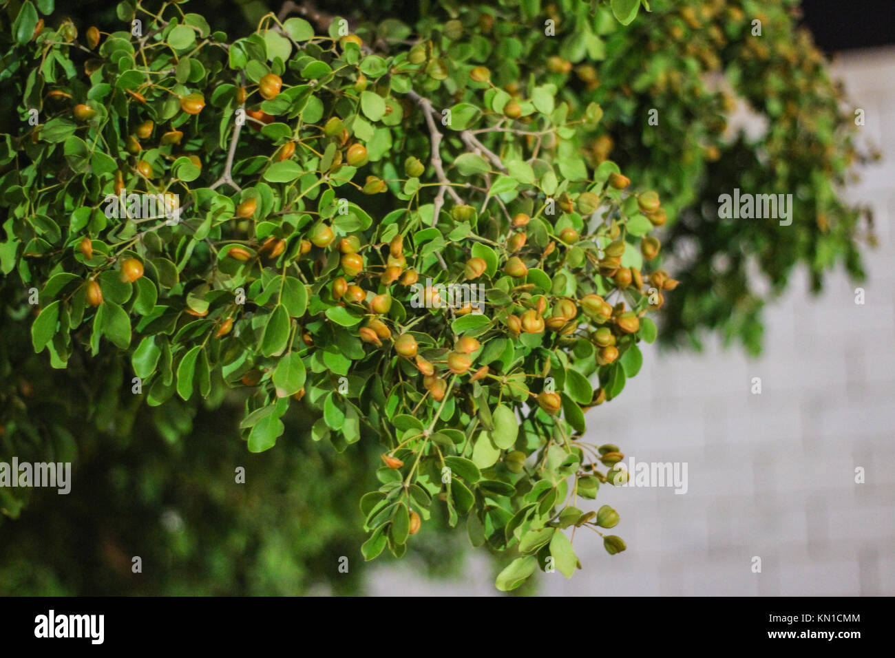 Frankincense leaves used as aromatic resins and wallpapers green leaves on tree having a small baby fruits on it Stock Photo
