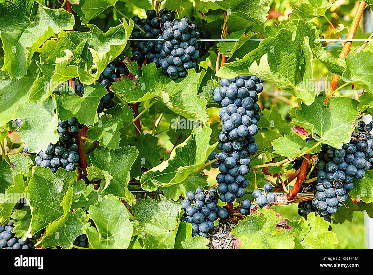 Vineyards, grapevines in Edenkoben, German Wine Route, Palatine wine, Palatinate Forest Nature Reserve, Rhineland Stock Photo