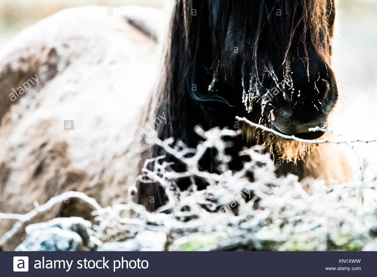 Cessford Farm, Morebattle Kelso, Scottish Borders, UK. 10th December 2017. Highland ponies at dawn are unpeturbed - Stock Image