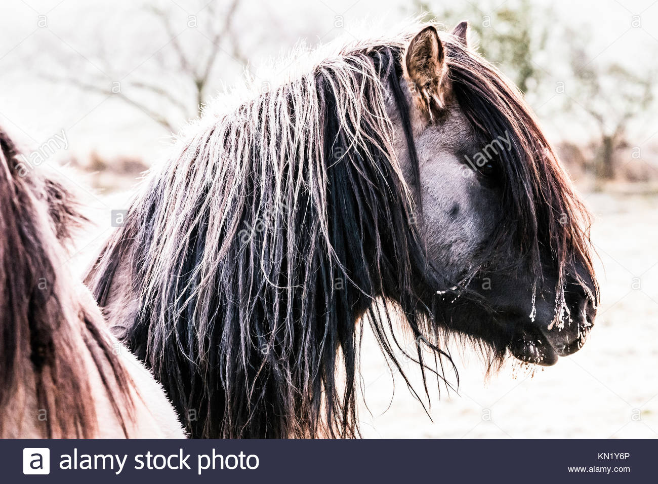 Cessford Farm, Morebattle Kelso, Scottish Borders, UK. 10th December 2017. Highland ponies at dawn are unpeturbed Stock Photo