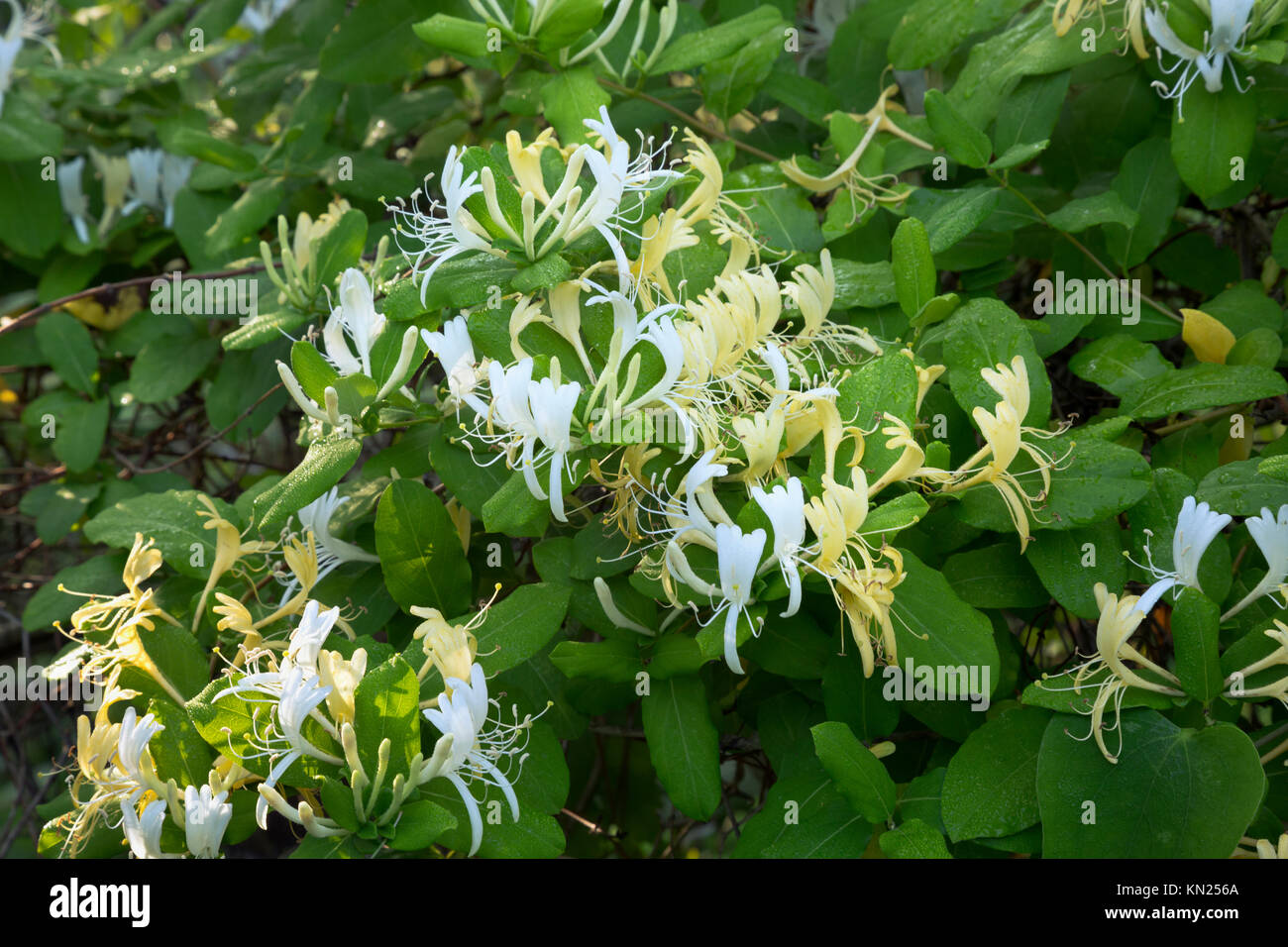 NC01044-00...NORTH CAROLINA - Flowers blooming along the Hammock Hills Nature Trail on Ocracoke Island in the Cape - Stock Image