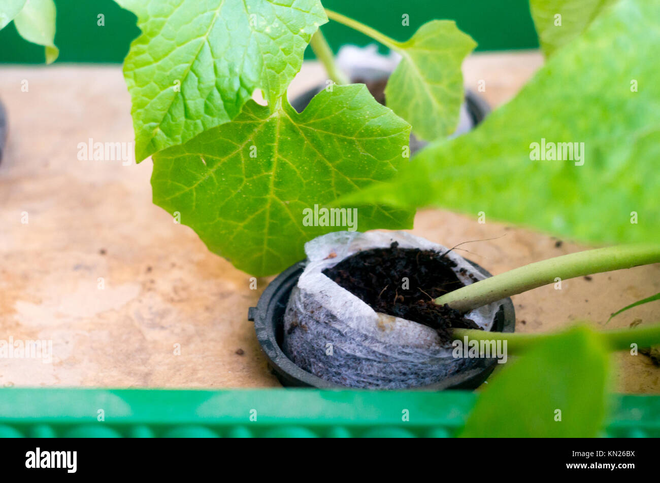 Hydroponic plant growing in coco coir net pot Stock Photo