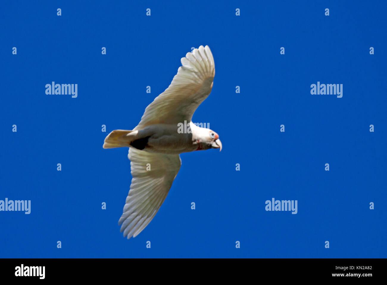 Long billed corella in flight in Halls Gap Victoria Australia - Stock Image