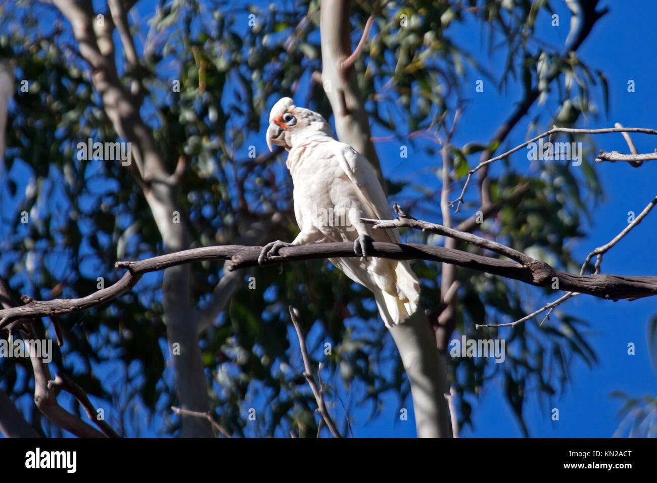 Long billed corella perched in tree in Halls Gap Victoria Australia - Stock Image