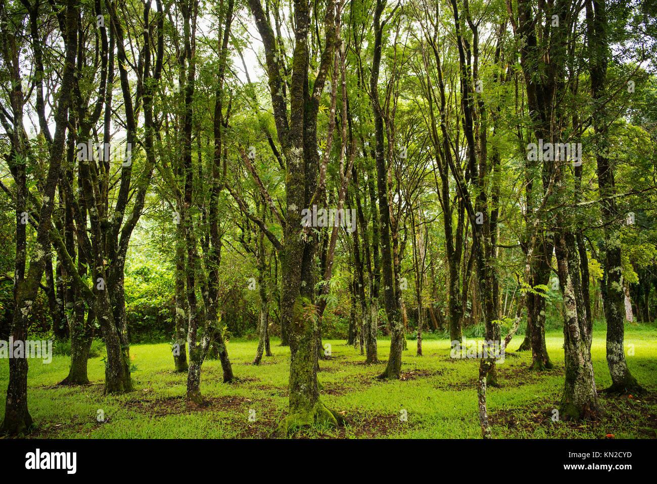 Mossy trees at Keahua Forestry Arboretum on Kaua'i Island, Hawai'i - Stock Image