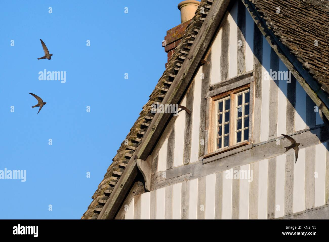 Common swift (Apus apus) group flying and screaming past an old half-timbered house with several swift nests under - Stock Image