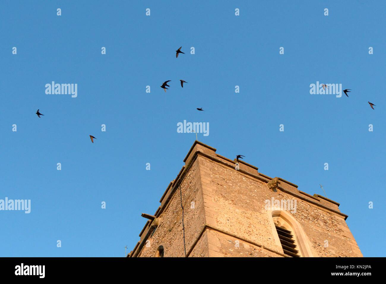 Screaming party of Common swifts (Apus apus) flying around a church bell tower at dusk, where a large colony breeds - Stock Image