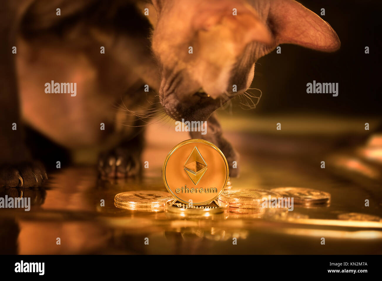 The cat of the Sphynx breed plays with the coin of the Ethereum cryptocurrency - Stock Image