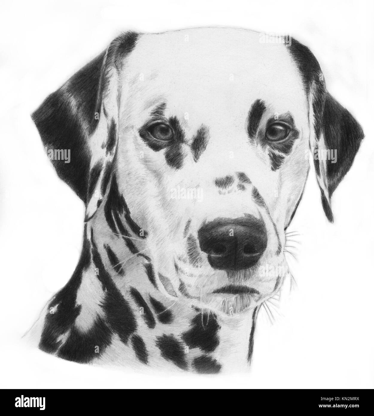 Dalmatian, hand drawn grayscale head of a dalmation dog illustration  Very realistic - Stock Image