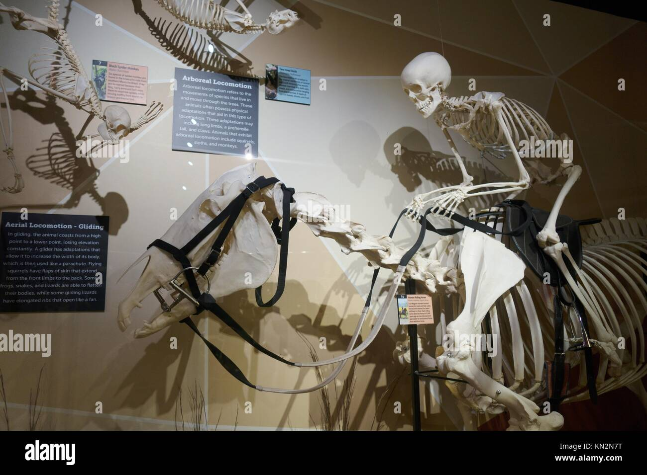 Horse Skeleton High Resolution Stock Photography And Images Alamy