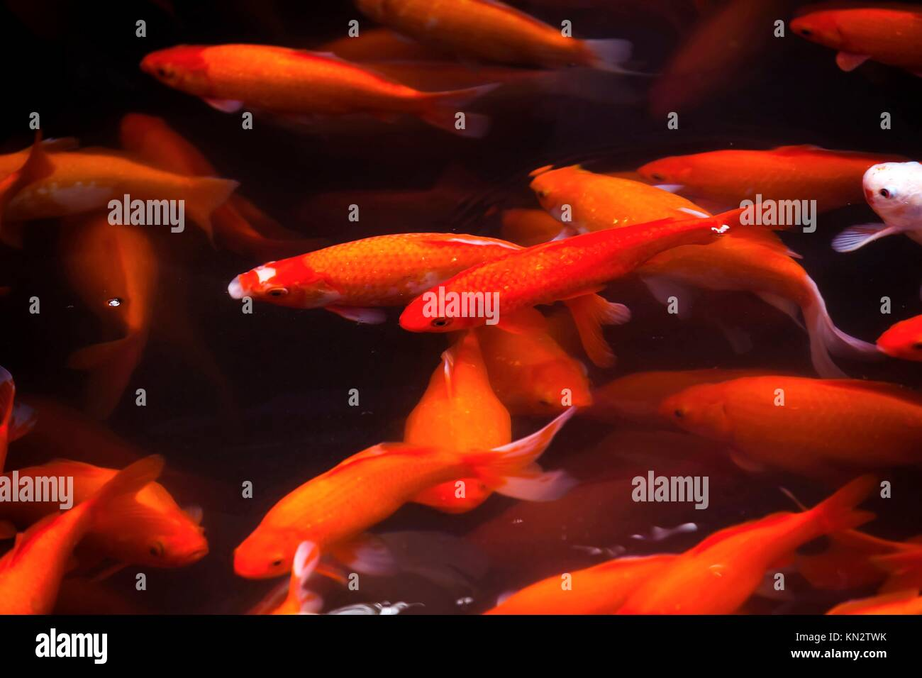 Red Gill Stock Photos & Red Gill Stock Images - Page 5 - Alamy