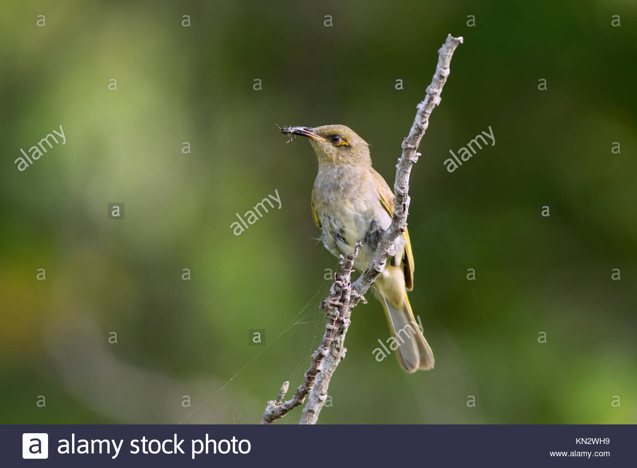 Brown Honeyeater (Lichmera indistincta) with a spider it has cought perches near it's nest before feeding it's - Stock Image