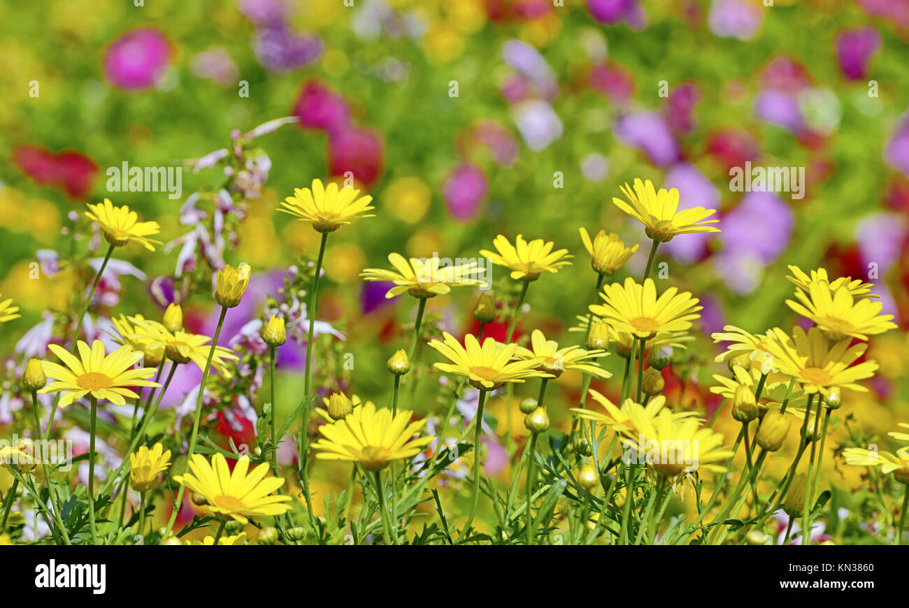 beautiful yellow flowers in floral background. - Stock Image