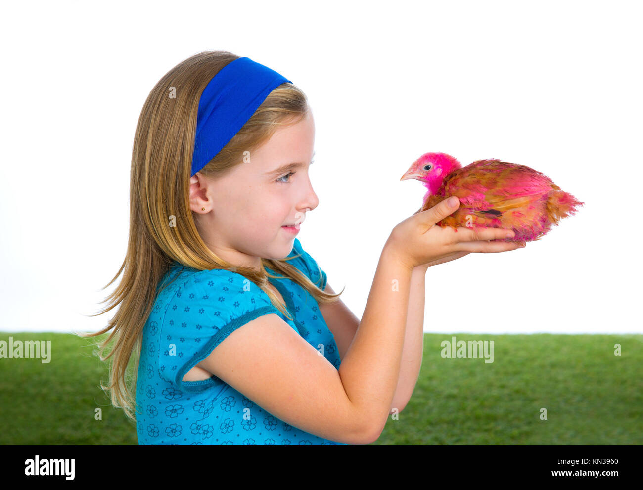 breeder hens kid girl rancher farmer playing with chicken chicks white background. - Stock Image