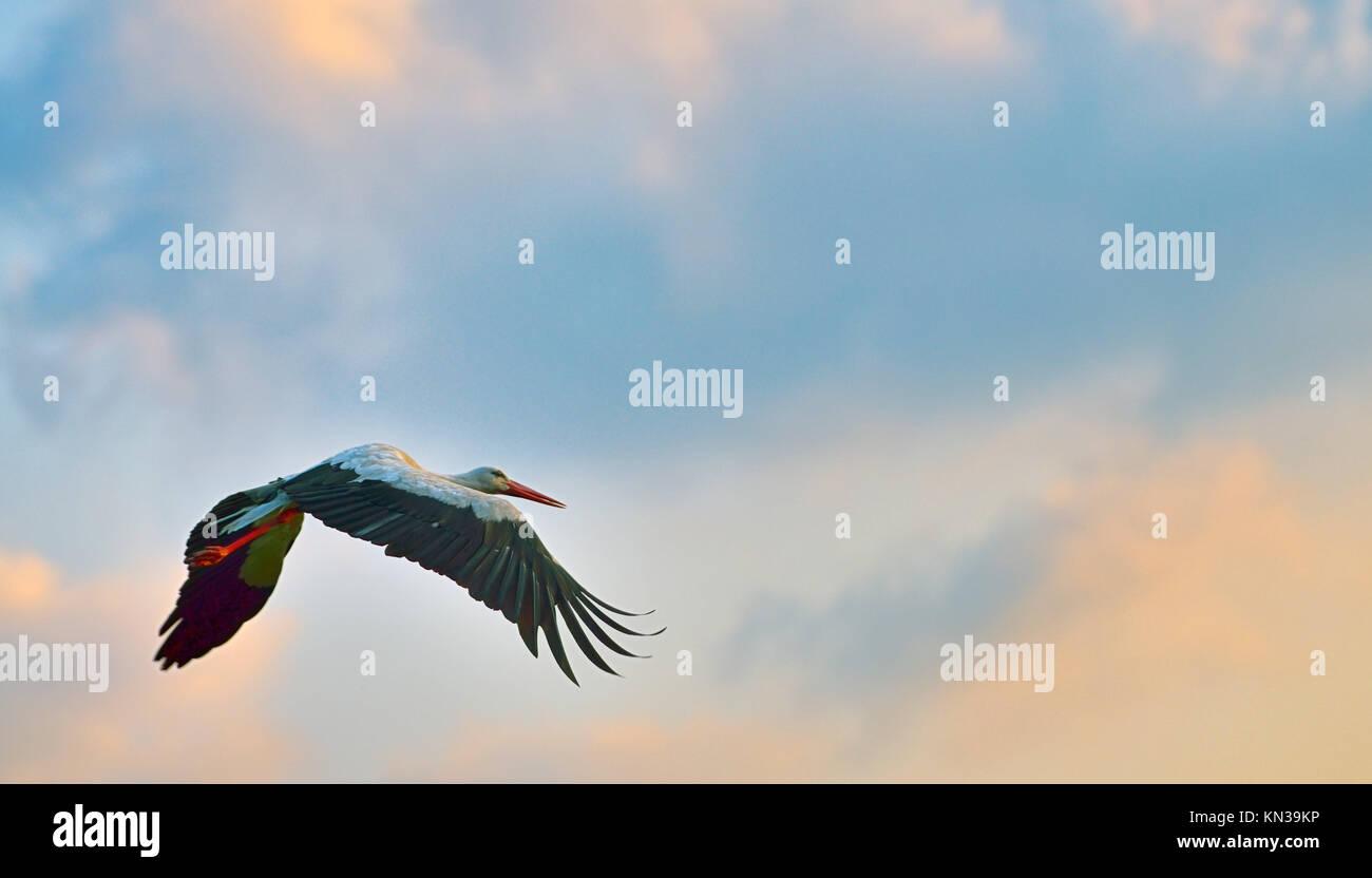 white stork flying on blue sky. Stock Photo