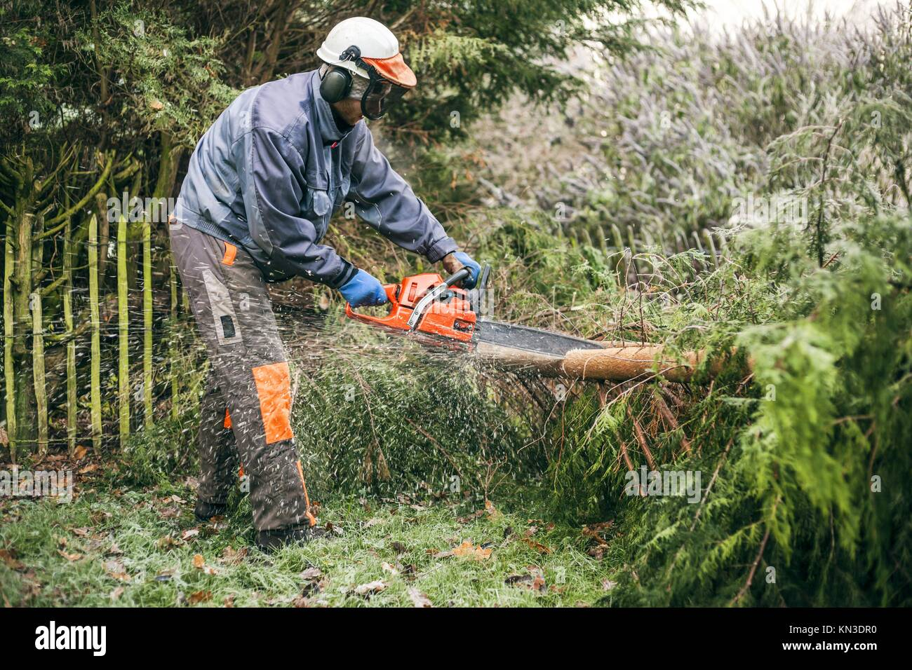 Professional gardener cutting tree with chainsaw. Stock Photo