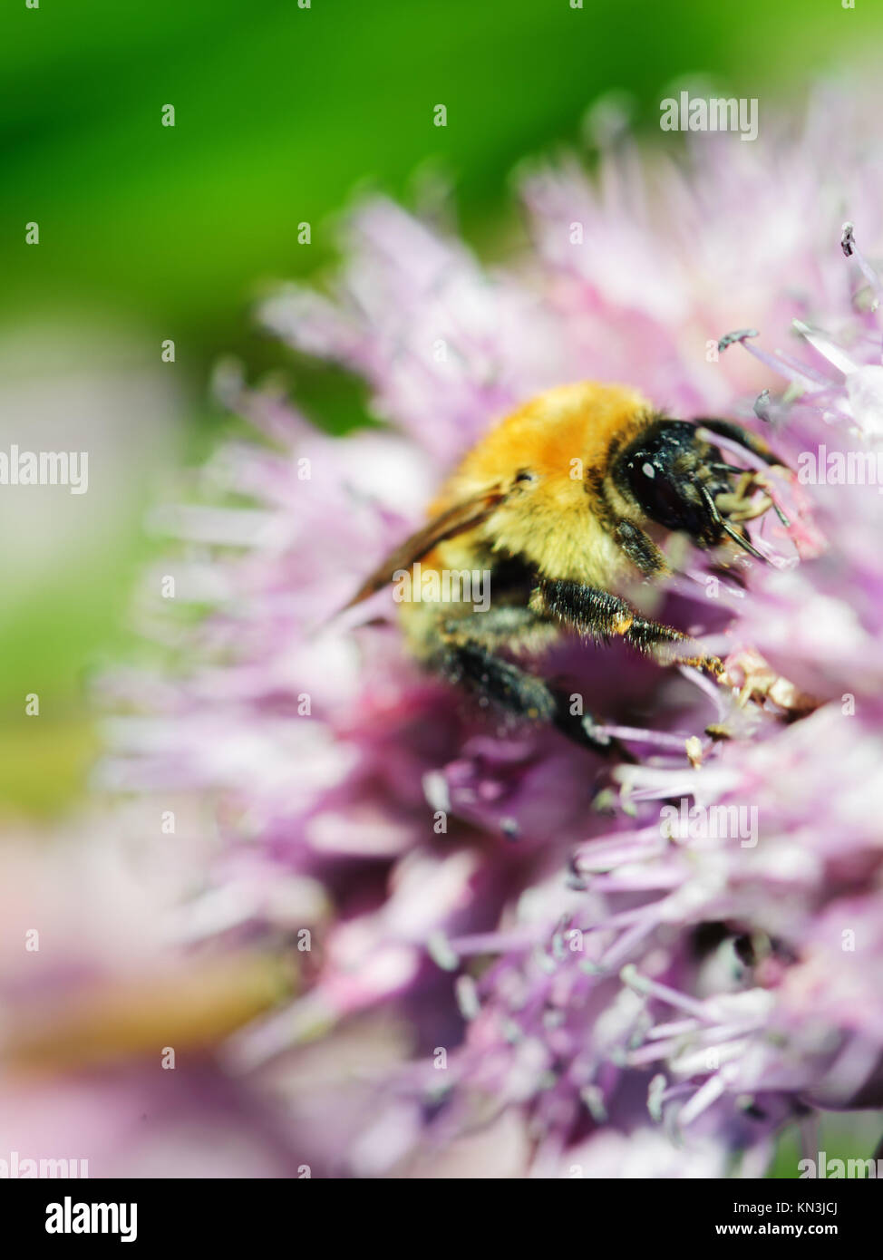 Macro shot of honey bee on blue flower. - Stock Image