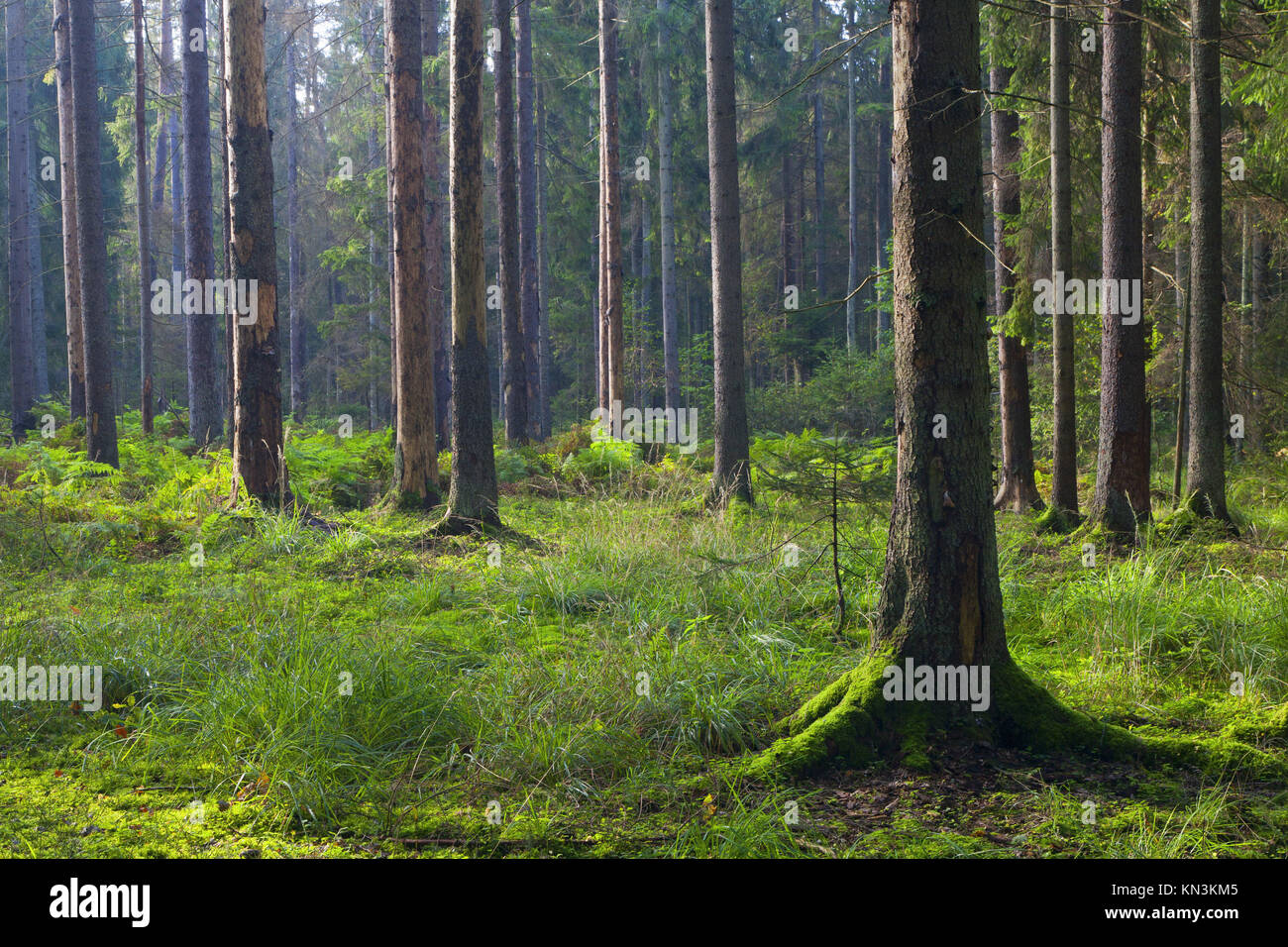 Early autumn morning in the forest with mist and dead spruces still standing. - Stock Image